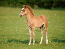 Pretty Foal Royalty Free Stock Photo