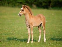 Pretty Foal Royalty Free Stock Photo