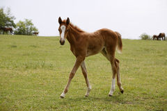Pretty foal stands in a summer paddock. Stock Photos