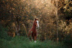 A pretty foal stands in a Summer paddock Stock Image