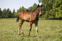 Pretty foal stands in a summer paddock Stock Photography