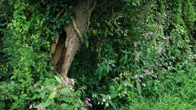 Old Hollowed Tree Among Plants And Flowers. Pretty forest scene of old hollowed-out tree trunk with ivy growing among flowers and plants stock video