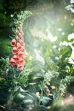 Pretty foxglove flowers in garden or park. Summer garden nature background Royalty Free Stock Image