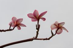 Pretty frangipani flower on a white background in Singapore. Relaxing spa image stock photography