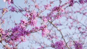 Pretty fresh pink cherry blossom on tree branches stock video