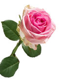 Pretty fresh pink rose Royalty Free Stock Images