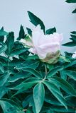 Paeonia suffruticosa pink and white flower head with green. Pretty fresh suffruticosa peony flowers on green branches with leaves. Card Concept Royalty Free Stock Photos
