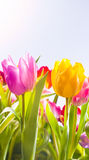 Pretty fresh tulips in spring sunshine. Pretty fresh pink, yellow and red tulips flowering in a field in hot spring sunshine, low angle view of the plants with Royalty Free Stock Photography