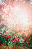 Pretty Fuchsia flowers bush on summer garden Stock Images