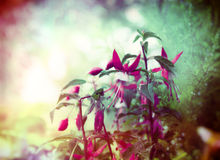 Pretty fuchsia flowers on summer garden background, close up Stock Photo