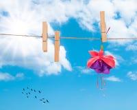 Pretty Fuchsia Head. Fuchsia bloom hanging on washing line on summers day Stock Photography