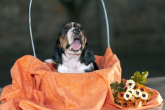 Pretty and gently Basset hound puppy Royalty Free Stock Photos