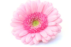 Pretty Gerbera Stock Image