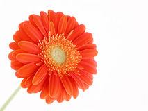 Pretty gerbera Royalty Free Stock Image