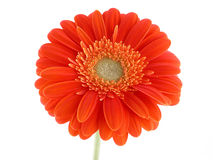 Pretty gerbera Royalty Free Stock Photography