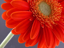 Pretty gerbera Stock Images