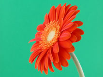 Pretty gerbera Royalty Free Stock Images