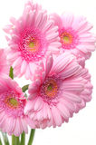 Pretty Gerbera Flowers Royalty Free Stock Image
