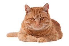 Pretty ginger cat. Ginger cat is lying on the floor and resting Stock Images