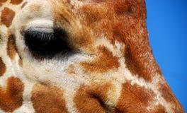 Pretty Giraffe Eye. Close-up eye of patterned giraffe against blue sky background Stock Image