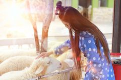Pretty girl be kind to animals,girl have mercy to sheep Stock Photo