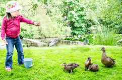 Pretty girl feeds ducks Stock Image