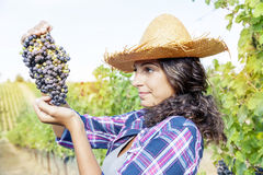 Pretty girl picks grapes in a vineyard Royalty Free Stock Photo