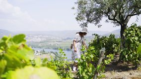 Pretty girl walking between vine plants on hill. Woman in white dress walking between raws of vine plants in sunny day with view on valley of Douro river in stock footage