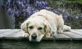 Golden Retreiver dog laying on deck with head hanging off deck. Pretty golden retreiver dog lays facing forward on a wooden platform with her head down hanging Stock Images