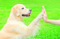 Pretty Golden Retriever dog on the grass in park, giving paw. Pretty  Golden Retriever dog on the grass in park, giving paw to hand Royalty Free Stock Image