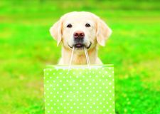 Pretty Golden Retriever dog is holding a green shopping bag. In the teeth on a grass on a summer stock photos
