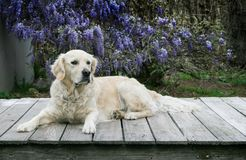 Pretty golden retriever is laying down on a wood deck. Beautiful golden retriever dog is laying down on a wood deck.  She is looking to her left. She is in front Royalty Free Stock Photography