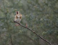 Pretty goldfinch on a branch Stock Image