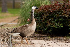 Pretty Goose Royalty Free Stock Image