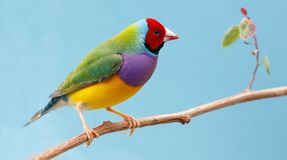 Pretty Gouldian Finch from Australia Stock Images
