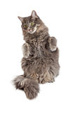 Pretty Gray Cat Begging Stock Photography