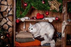 Pretty gray cat, holidays, christmas, new year Royalty Free Stock Image