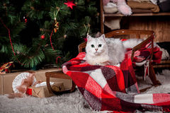 Pretty gray cat, holidays, christmas, new year Royalty Free Stock Photography