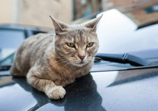 Pretty gray cat resting on car hood Royalty Free Stock Photo