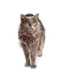 Pretty Gray Cat With Yellow Eyes and Red Collar Stock Photo