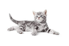 Pretty gray whiskas british kitten lying  Stock Images