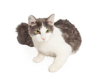 Pretty Gray and White Cat Stock Photography
