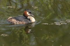 A beautiful Great crested Grebe, Podiceps cristatus, swimming in a stream with its reflection showing in the water. A pretty Great crested Grebe, Podiceps stock image