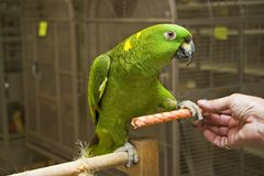 Amazon Parrot Stepping Up Stock Images
