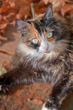 Pretty Green Eyed Calico Cat in Fall Leaves Stock Photography