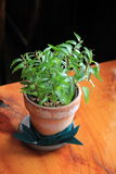 Pretty green plant in clay pot on wood table Royalty Free Stock Photography