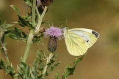 A pretty Green-veined White Butterfly Pieris napi nectaring on a thistle flower. Stock Photos