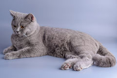 Pretty grey british short hair cat lying down isolated on a purple background.  Stock Photos