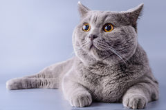Pretty grey british short hair cat lying down looking away isolated on a purple background.  Stock Photos