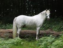 Pretty Grey Pony. A pretty grey pony stands alone in a forest Stock Photos